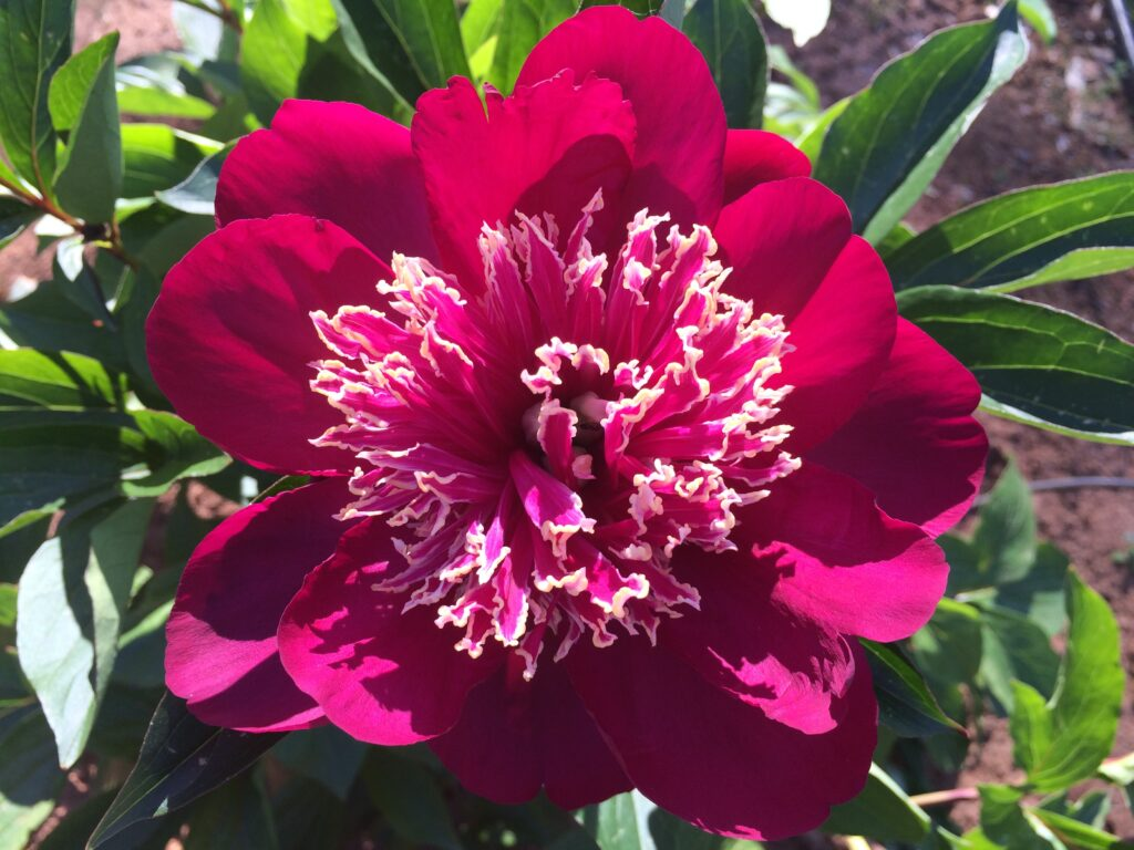bodacious-blooms-Japanese-peony-Barrington-Belle