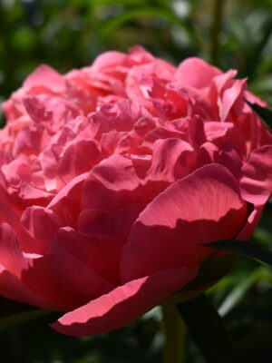 bodacious-blooms-Coral Sunset-peony