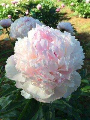 bodacious-blooms-Eden's-Perfume-peony