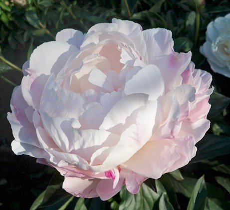 bodacious-blooms-Gardenia-Blush Peony