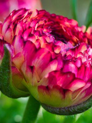 bodacious-blooms-giallo-striato ranunculus