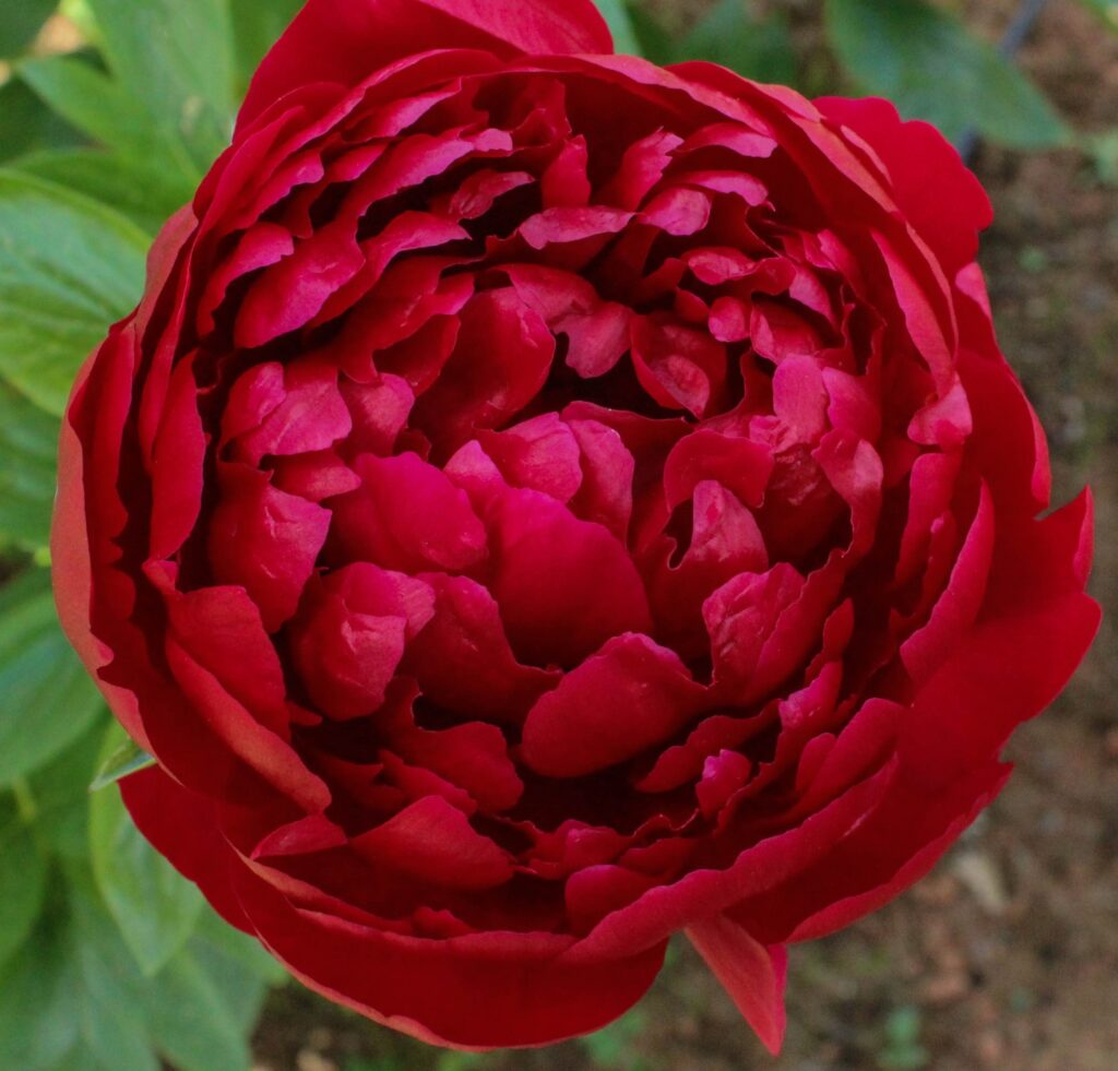 bodacious-blooms-dark-red-peony