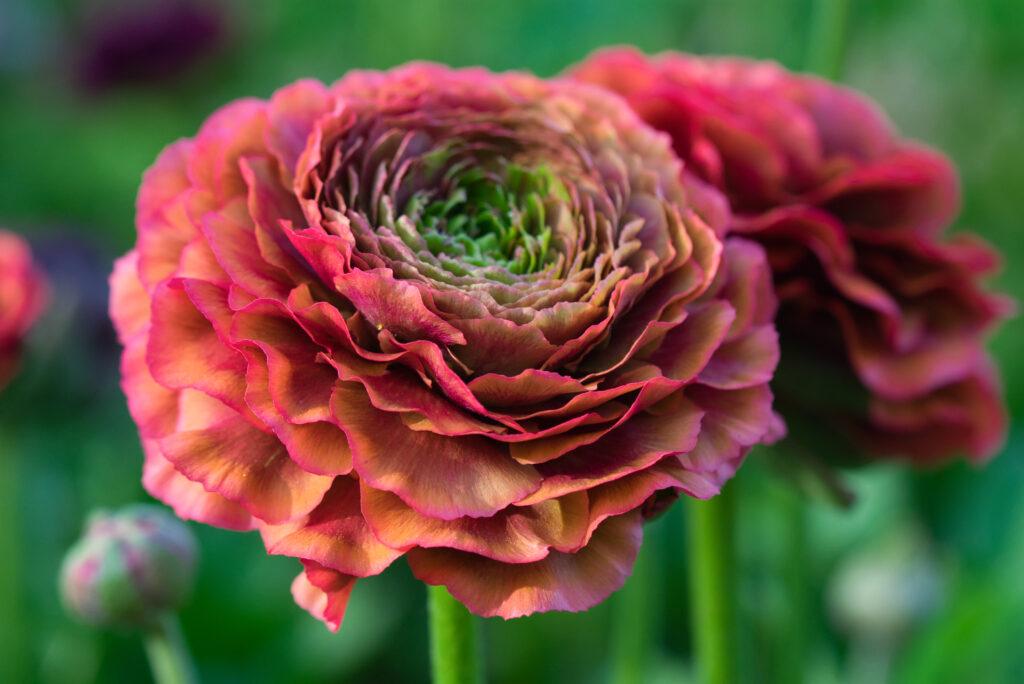 bodacious-blooms-PonPon ranunculus