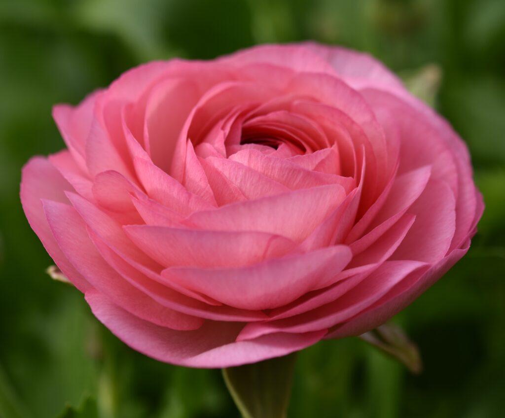 bodacious-blooms-pastel pink ranunculus