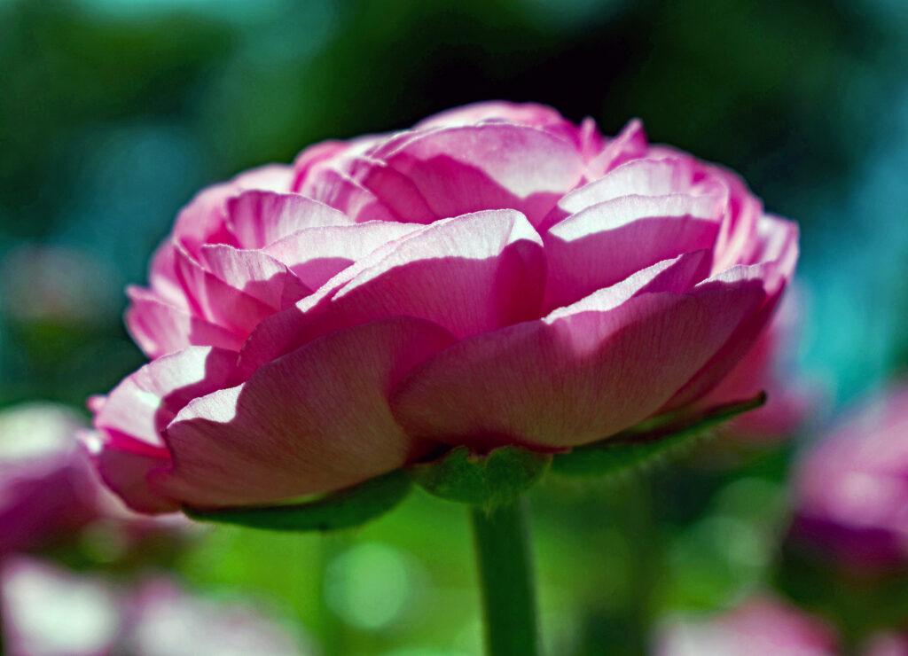 bodacious-blooms-Rose ranunculus